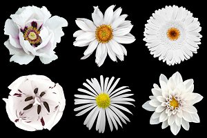 6 white flowers isolated on black