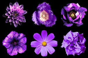 6 violet flowers isolated on black