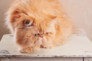 Red Persian Cat on a white table