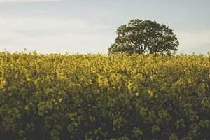 Lonely tree in a yellow field