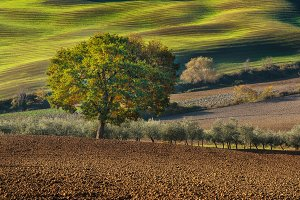 Tuscan fields and trees