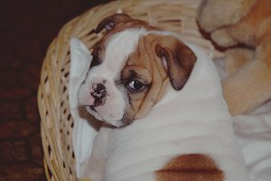 Adorable Bulldog puppy.