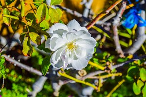 Beautiful white Rose flower