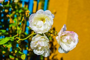 Beautiful white Rose flower