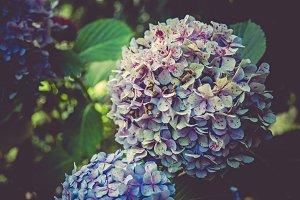 iseeyouphoto bluehydrangea
