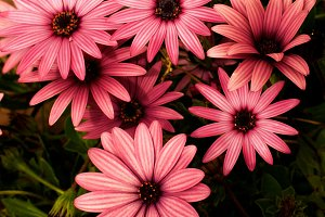 Garden Daisy Flowers