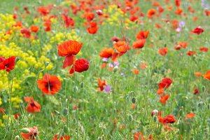 Field of poppies with green grass