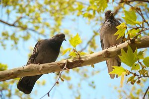 Two pigeons sitting on the branch