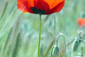 Beautiful red poppy on the field