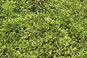 Water hyacinth green