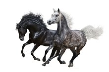 Two horses gallop