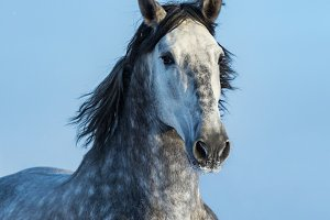 Gray Andalusian Horse