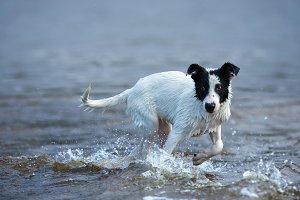 Puppy of mongrel