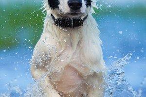 Puppy of watchdog running