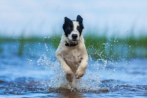 Puppy of watchdog running