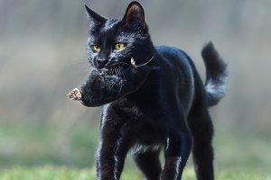 Black cat with mole