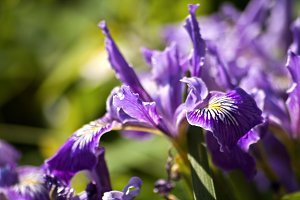 Purple Iris in Bright Sunlight