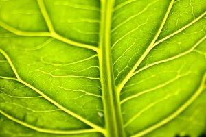 Backlit Vegetable Leaf