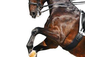 Hanoverian horse rear