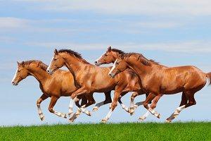Four horses gallop