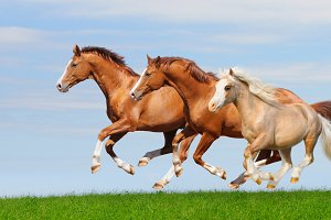 Three horses gallop