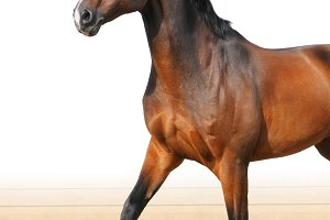 Oldenburge stallion