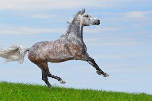 Gray arabian galloping horse