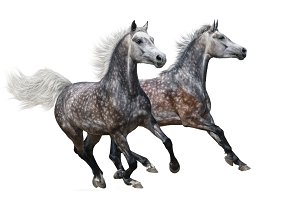 Galloping two grey horses