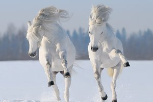 Two galloping white horses