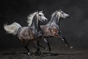 Two horses gallop on dark background