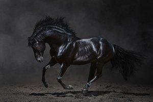 Black Andalusian stallion