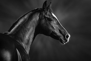 B&W portrait of horse