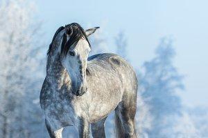 Andalusian gray horse