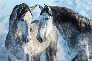 Two Andalusian gray horses