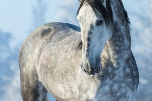Andalusian gray horse