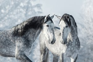 Portrait of two Spanish horses