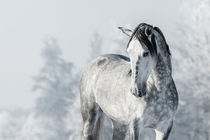 Portrait of Spanish horse