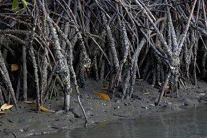 mangroves ecosystems thailand
