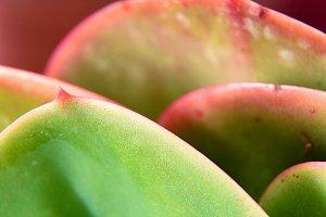 detail cactus leaf