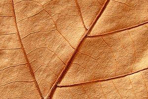 Close-up of maple autumn leaf