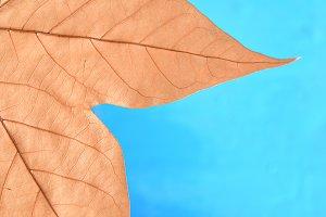 Close-up of maple autumn leaf on blue
