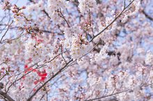 Sakura Flower or Cherry Blossom