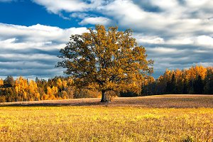Oak golden autumn