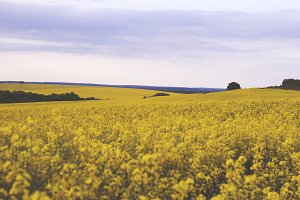 Endless yellow rapeseed field