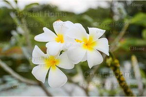 Wild Plumeria tropical flower