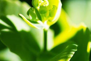 Green Bud Opening