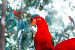 Red Parrot on a branch in the zoo