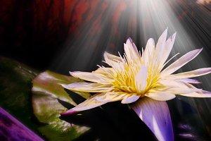 White lotus blooming