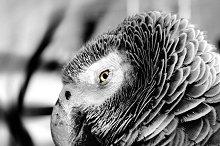 Grey parrot looking at his eyes.