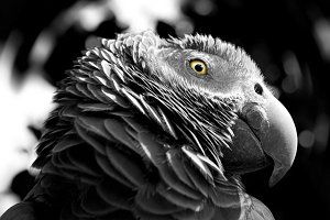 Grey parrot looking at his eyes.
